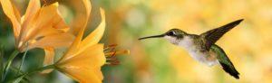 Banner kolibrie